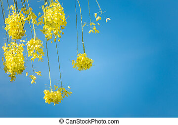 Yellow flower cassia tree with blue sky for copy sapce