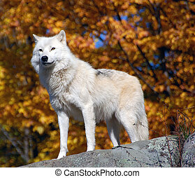 Arctic Wolf - Arctic wolf in a majestic forest in autumn