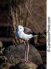 Black-winged stilt bird (Himantopus himantopus)