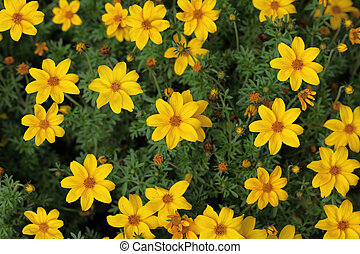 Yellow Cosmos Flower - Yellow blooming Cosmos Flower in the...