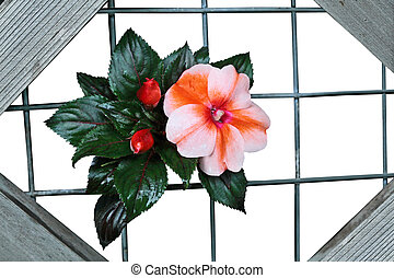Balsam Flower Wooden Frame - Balsam Flower in Wooden Frame...