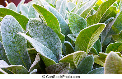Herb Lambs ear. A beautiful perennial herbaceous plant with...