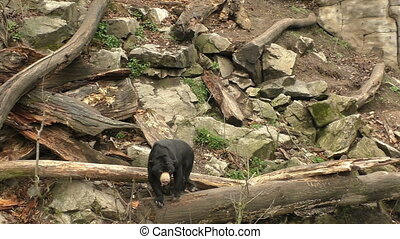 Sun bear also known as a Malaysian bear (Helarctos...