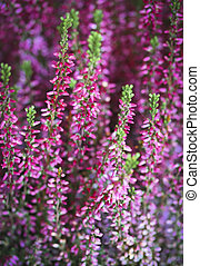 Pink heather - Violet and pink heather Close up