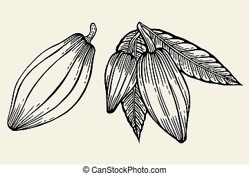 Cacao tree leaves - Cacao tree, leaves, fruit and branch old...