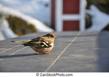 Dizzy Chaffinch - This little chaffinch was recovering on a...