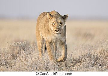 Lioness - A Lioness in Etosha National Park