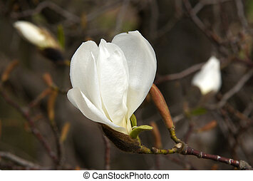 White Magnolia flower - Beautiful white Magnolia flower on a...