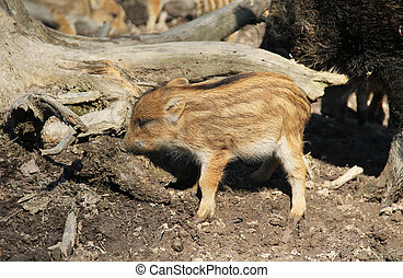 young wild pig