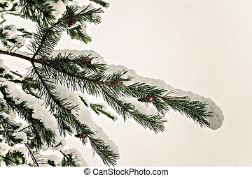 snow pine branches with cones isolated on white