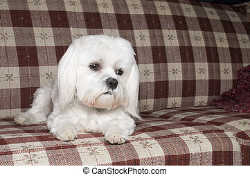 Maltese on Couch