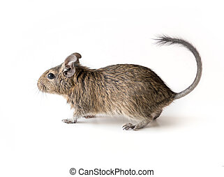 Little Degu squirrel, isolated, closeup - Little adorable...