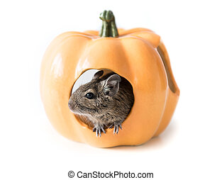 Degu hides in a pumpkin house, closeup - Small cute degu...