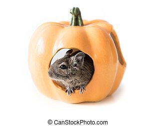 Degu hides in a pumpkin house, closeup - Small cute degu...