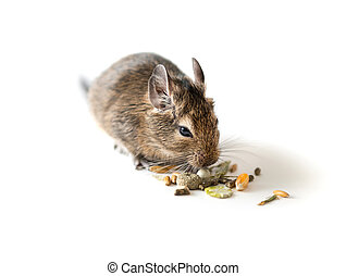 Chilean degu squirrel eating snack, closeup - Adorable...