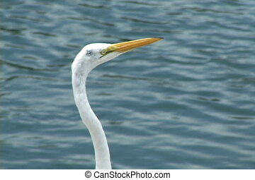 Egret Head - Head and neck of a common egret against a...