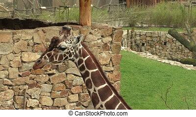 Reticulated giraffe (Giraffa camelopardalis reticulata),...