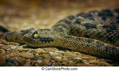 Rattlesnake On Desert Floor Closeup - Rattlesnake lying on...