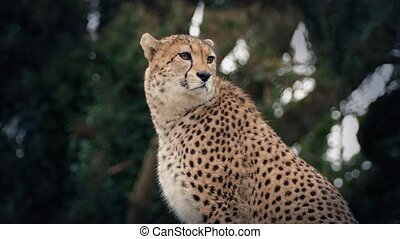 Cheetah Portrait - Portrait shot of a cheetah in the wild