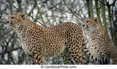 Cheetahs Stand Alert And One Walks Off - Couple of cheetahs...