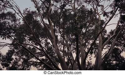 Eucalyptus Trees In Stormy Weather - Eucalyptus trees...