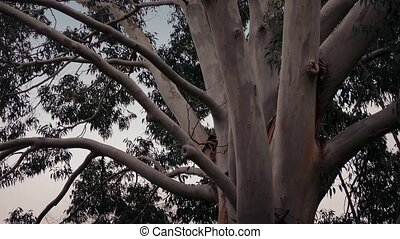 Australian Eucalyptus Tree In Storm - Eucalyptus tree trunks...