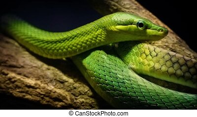 Green Tree Snake In The Jungle - Tree snake wrapped around...