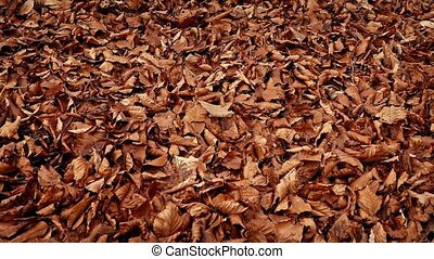 Moving Over Thick Blanket Of Fallen Leaves - Dolly shot...