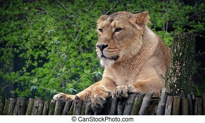 Lioness Looking Around In Reserve - Female lion on wooden...