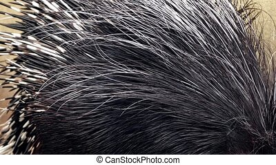 Porcupine Spines Closeup - Closeup of a porcupine foraging