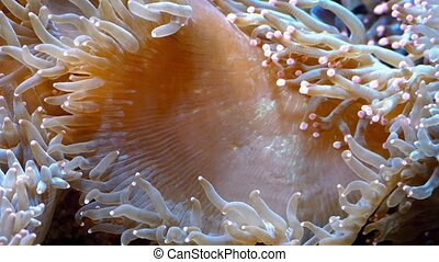 Coral Reef Creature With Tentacles - Large colorful coral...