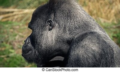Gorilla Chewing Food Gets Up And Leaves - Big male gorilla...