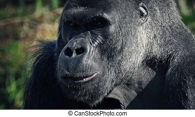 Gorilla Eating Looks Up At Camera - Big mountain gorilla...