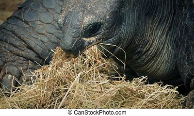 Tortoise Eating Dried Grass Closeup - Closeup shot of...