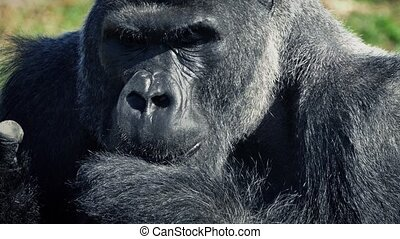 Silverback Gorilla Eating With His Hands - Closeup of large...