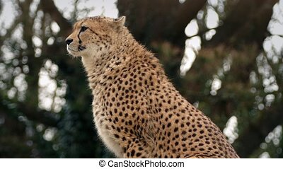 Cheetah Alert And Looking Around - Cheetah by trees looks...