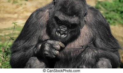 Female Gorilla Eating Food In The Sun