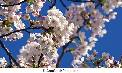 Flower Blossoms With Bees Flying Around - Beautiful white...