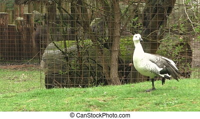 Goose stands on one leg in the meadow