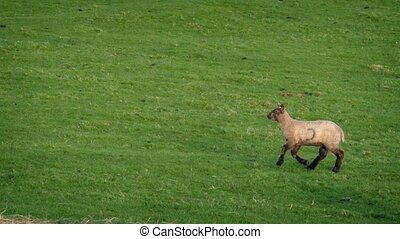 Following Lamb Running Across Grassy Field - Tracking shot...