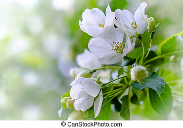 flowering apple tree branch with blurred background