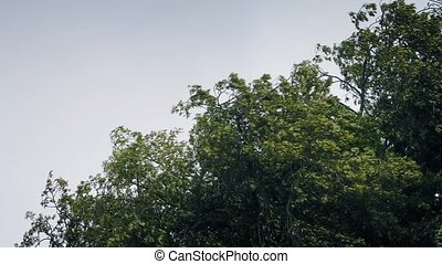 Tree Tops In Violent Storm - Tree tops moving around in...