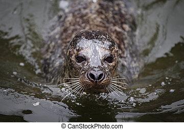 Seal in water (Phoca vitulina)