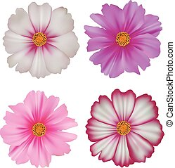 Set of cosmos flowers isolated on white background