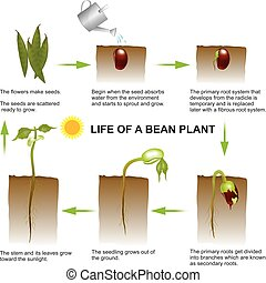 life of a bean plant - Seed germination is a process by...