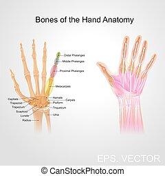 bone of the hand anatomy