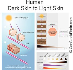 Human dark skin to light skin process. - Both ultraviolet...