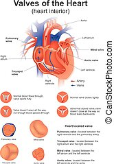Valve of the Heart. - A heart valve opens or closes...