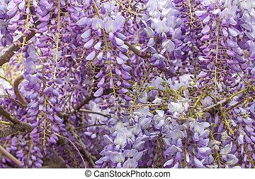 closeup of a beautiful cascade of wisteria flowers.