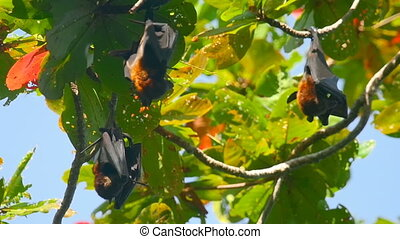 Flying foxes hanging on a tree branch and washing up